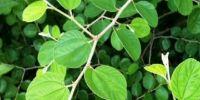 5 Manfaat daun bidara bagi kesehatan tubuh