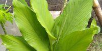 Mengenal tanaman kunyit untuk mencegah serangan jantung