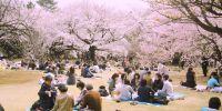 Hanami: Budaya Jepang yang saat ini terancam virus Corona