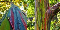 Eucalyptus Deglupta, pohon pelangi yang coraknya seperti dilukis