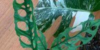 Sedang naik daun, ini 4 alasan Monstera Obliqua bernilai tinggi