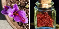 10 Fakta unik saffron, rempah termahal di dunia yang kaya manfaat