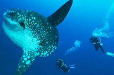 Ikan bertulang terbesar di dunia, bentuk tubuhnya aneh banget