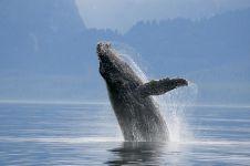 9 Fakta paus biru, hewan mamalia terbesar yang ada di muka bumi