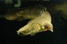 Mengenal Polypterus, ikan hias primitif ini terlihat sangar & memesona