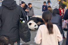 Panda yang berkeliaran di jalanan ini hebohkan media sosial Jepang