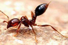 Inilah 5 jenis semut paling berbahaya, bisa melumpuhkan mangsanya
