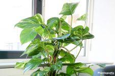 Sering digunakan untuk menghias rumah, 5 tanaman hias ini berbahaya