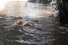 Hati-hati, 4 ciri sungai seperti ini biasanya terdapat buaya muara