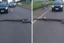Ular anaconda raksasa melintas di jalan raya, ini yang dilakukan warga