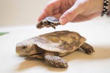 Begini 5 tips memelihara kura-kura yang benar dan simpel