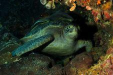 4 Fauna unik ini mudah ditemui di bawah Laut Bunaken