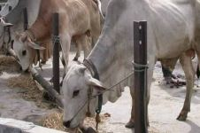 Jelang Idul Adha, kenali soal penyakit anthrax pada ternak