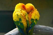 Lovebird, burung simbol cinta dan kasih sayang abadi