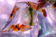 7 Ikan hias ini bisa dipelihara tanpa aerator, cocok buat pemula
