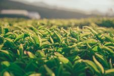 Tak hanya enak diminum, ini 6 manfaat daun teh untuk kecantikan wajah
