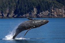 Dijuluki emas mengambang, ini 5 fakta tentang muntahan paus
