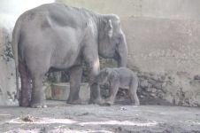 Bayi gajah betina lahir di Gembira Loka Zoo, Yogyakarta
