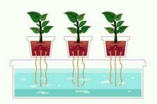Hilangkan penat saat pandemi? Yuk, menanam hidroponik wick system