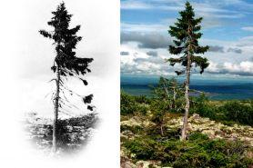 Old Tjikko, pohon tertua di dunia berusia 9550 tahun