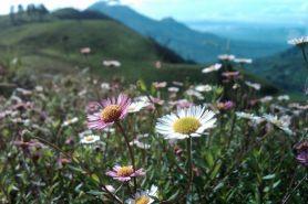 Mengenal Lonte Sore, bunga cantik dari ketinggian Gunung Prau