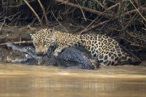 6 Foto luar biasa pertarungan jaguar dengan buaya caiman