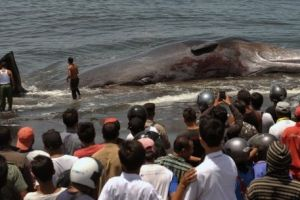Heboh! Puluhan paus terluka dan terdampar di Aceh Besar