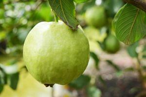 9 Khasiat penting daun jambu biji yang jarang diketahui