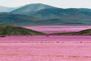 10 Potret gurun terkering di dunia tiba-tiba ditumbuhi bunga-bunga