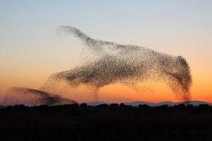Menakjubkan, kawanan jalak terbang membentuk formasi burung raksasa