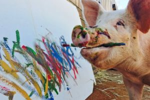 Pigcasso, si babi pelukis yang karyanya laku Rp 56,7 juta