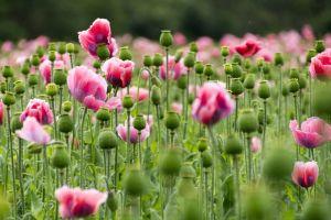 Mengenal sejarah opium, bunga cantik yang mematikan dan disalahgunakan