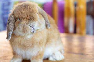 5 Fakta kelinci yang selama ini tak kamu tahu