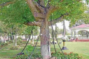 Tak salah apa-apa, pohon ini harus rela dipenjara ratusan tahun