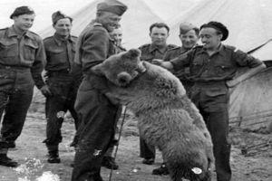 Wojtek, beruang cokelat Suriah yang jadi pahlawan Perang Dunia II