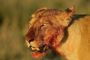 Dapatkah manusia memakan daging yang masih mentah layaknya hewan?