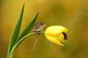 12 Potret menggemaskan tikus sembunyi di dalam Tulip, imut maksimal!