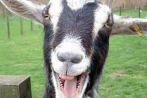 Menurut penelitian, Kambing tertarik dengan wajah bahagia manusia lho