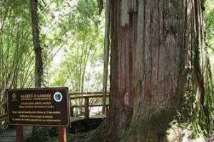 Inilah daftar 6 pohon tertua di dunia, usianya capai ribuan tahun lho