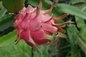 Gini lho cara menanam buah naga di rumah, mudah dan seru!