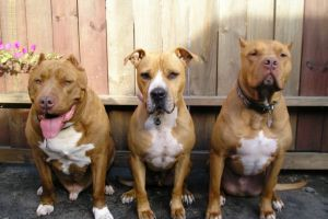 4 Fakta mengenai anjing Pitbull yang perlu kamu tahu