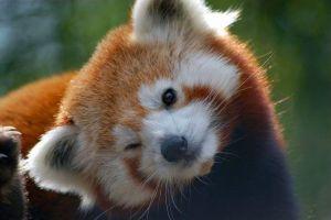 10 Potret gemas Panda Merah ini imutnya kebangetan, bikin harimu ceria