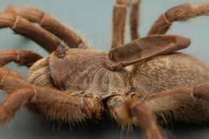 Tarantula Baboon, spesies baru Tarantula dengan tanduk setengah bulat