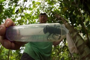 Dianggap punah, lebah hitam terbesar di dunia ditemukan kembali