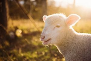 Nikmatnya Balibul, sate kambing muda khas Tegal-Slawi