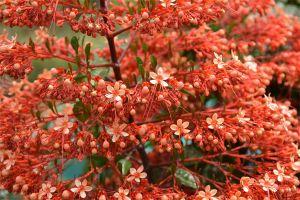 4 Cara memanfaatkan bunga pagoda, bisa mengobati beberapa penyakit