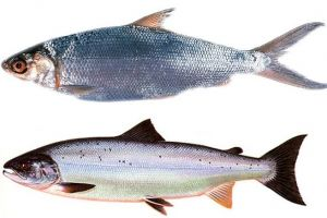 3 Fakta menarik Ikan Bandeng, kandungannya lebih tinggi dari Salmon