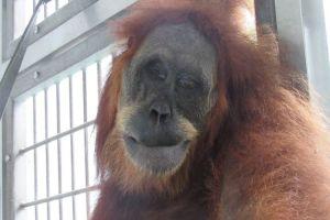 Ditembaki 74 peluru angin, induk orangutan Sumatera kritis