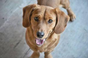 Alami kelainan langka, anjing ini punya dua mulut dan satu telinga