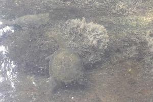 4 Fakta unik kura-kura leher panjang asal Pulau Rote